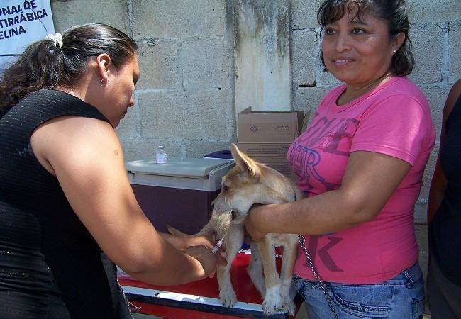 Al iniciar Campaña de Vacunación Antirrábica un perro muerde a una mujer embarazada, en Tizimín.
