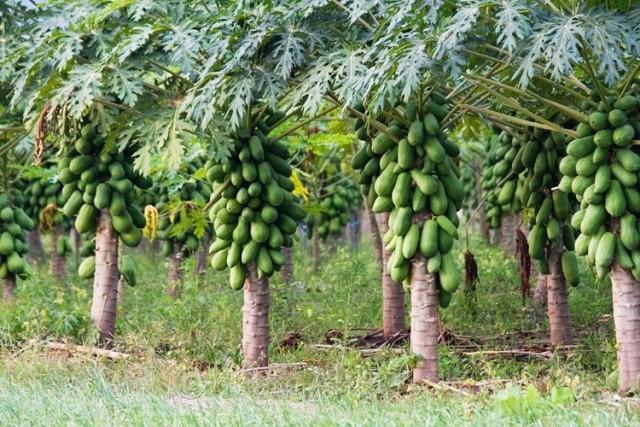 Falta de infraestructura para el manejo de la papaya genera pérdidas de hasta 200 mil pesos semanales