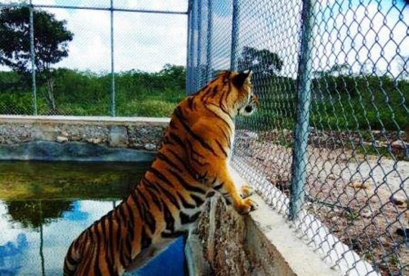 Profepa aseguró dos tigres de Bengala