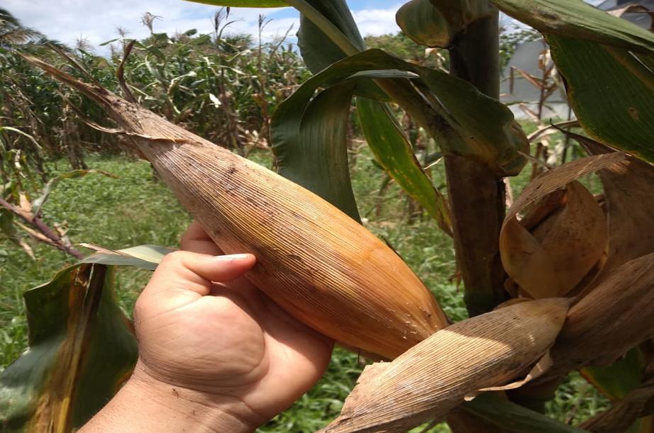 Conmemoran día nacional del maíz nativo en Tizimín